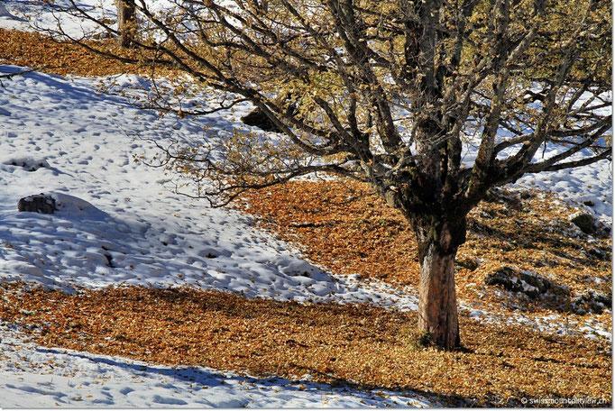 Viele Bäume wurden vom ersten Schnee überrascht...