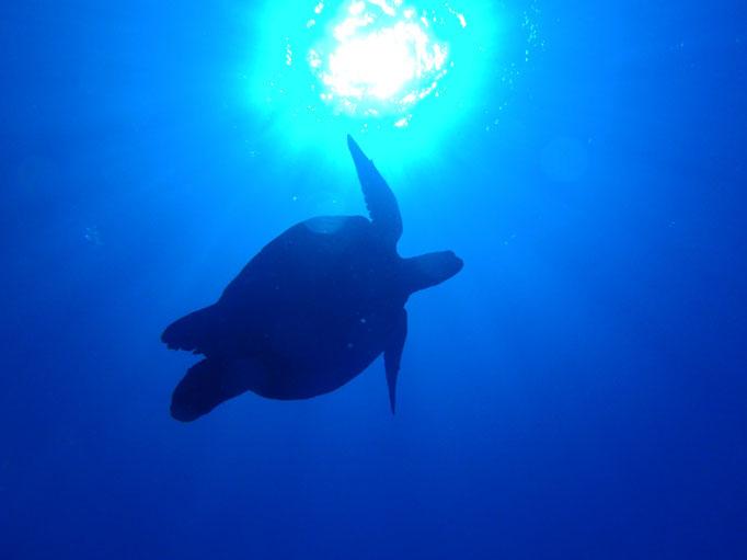 ヨロン ウミガメ ダイビング