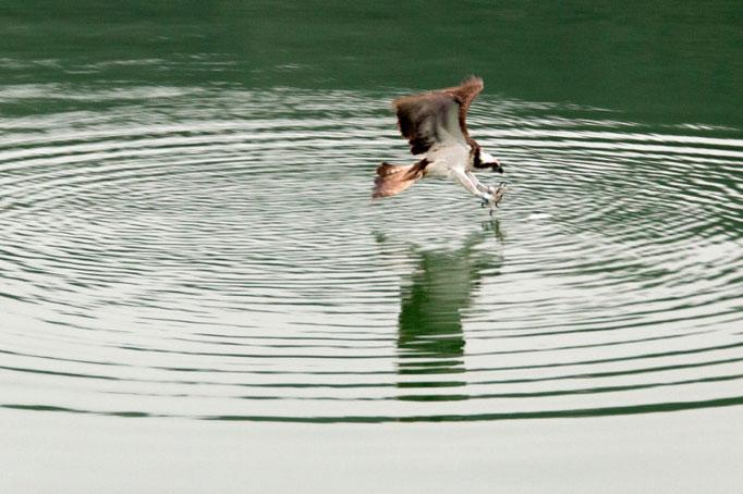 ...Fischadler im Anflug...