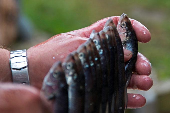 Maränen, bei uns heissen sie Felchen oder Balchen, für den Räucherofen vorbereitet