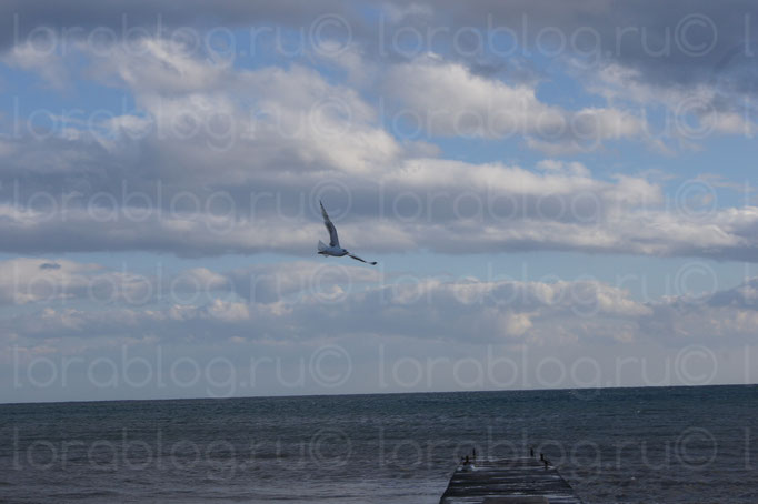 Чайка над Черным морем