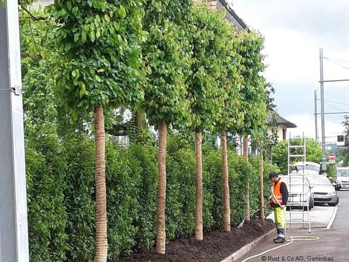 Wässern der frisch gepflanzten Bäume