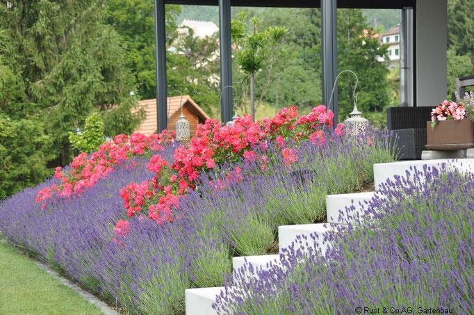 Lavendel und Bodendeckerrosen