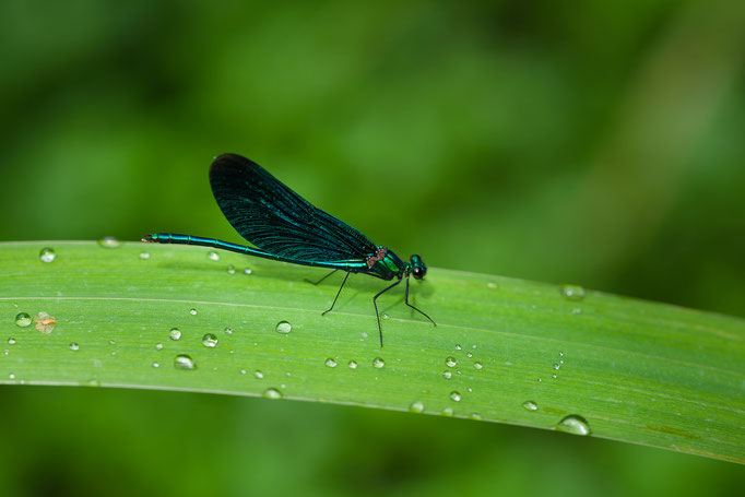 Male of Banded Demoiselle [Calopteryx splendens]