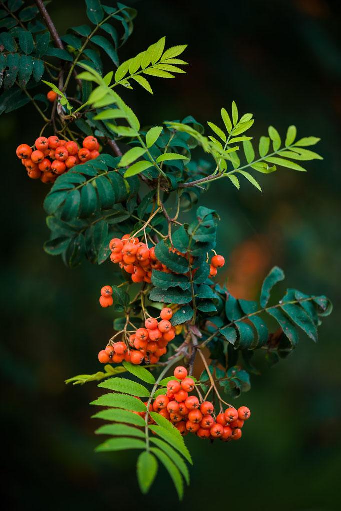 Früchte der Eberesche [Sorbus aucuparia]