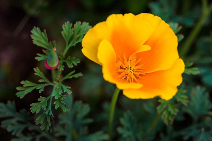 California poppy [Eschscholzia californica]