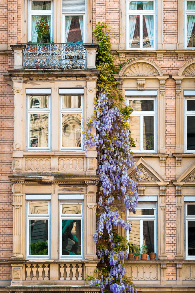 Wisteria on building fron