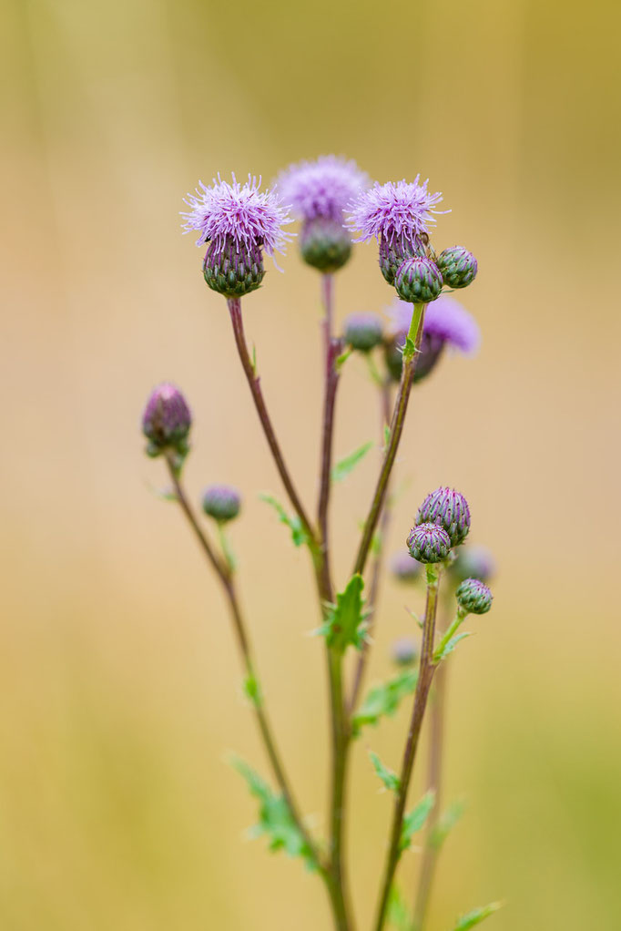 Creeping Thistle [Cirsium arvense]