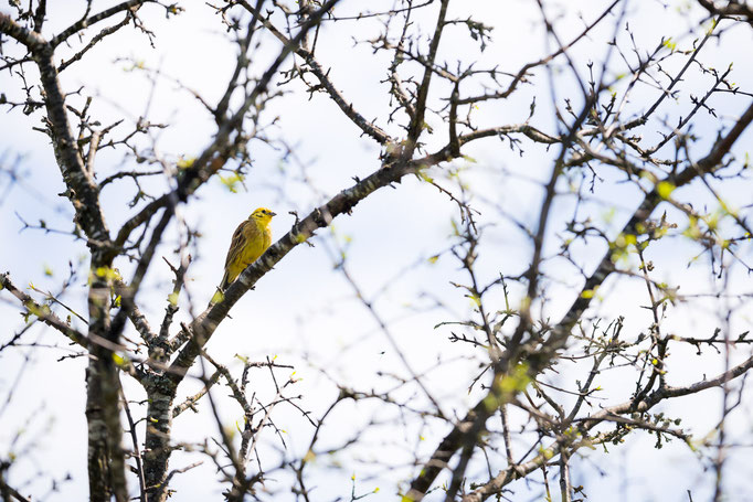 Male Yellowhammer [Emberiza citrinella]