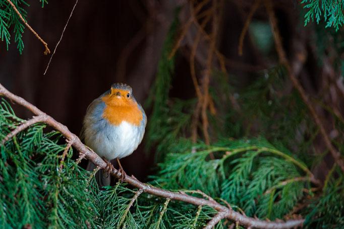 European Robin [Erithacus rubecula]