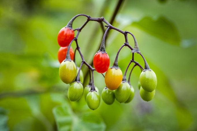 Früchte des Bittersüßen Nachtschattens [Solanum dulcamara]