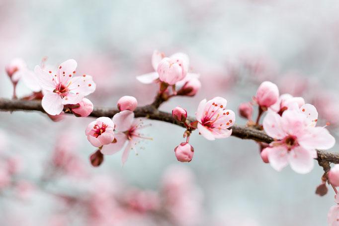 Blossoms of Purple Blackthorn [Prunus spinosa]