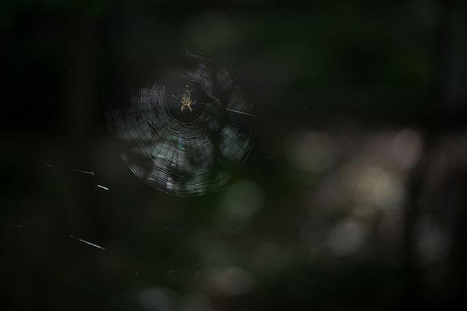 Gartenkreuzspinne [Araneus diadematus] in ihrem Radnetz