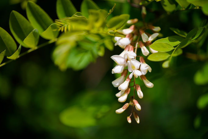 Blossoms of the Black Locust [Robinia pseudoacacia]