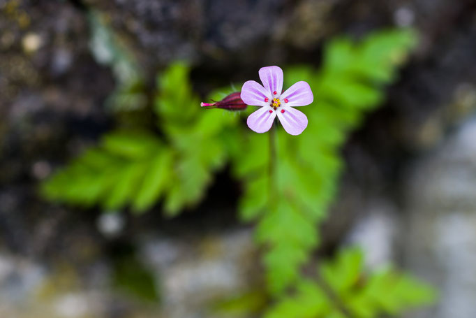 Herb Robert [Geranium robertianum]