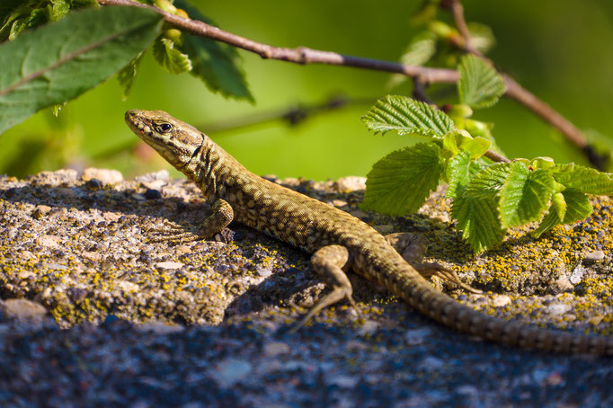 Common Wall Lizard [Podarcis muralis]