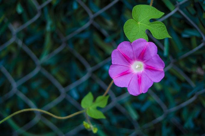 Blüte einer Prunkwinde [Ipomoea]