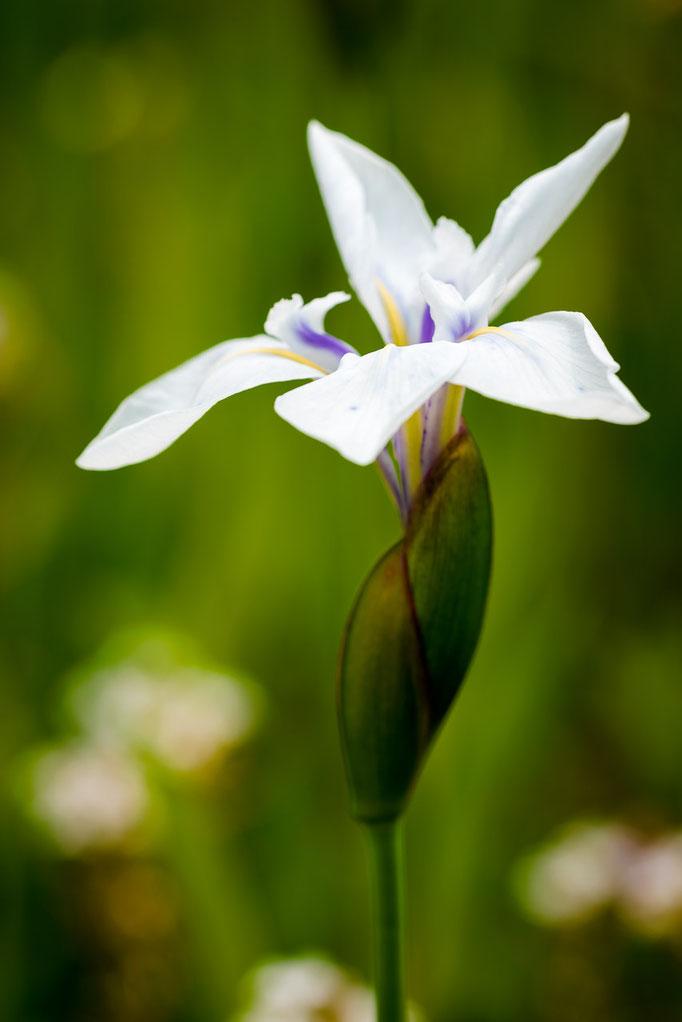 Japanische Sumpf-Schwertlilie [Iris ensata]
