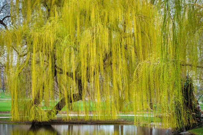 Weeping Willow, Unterer Schloßgarten Stuttgart