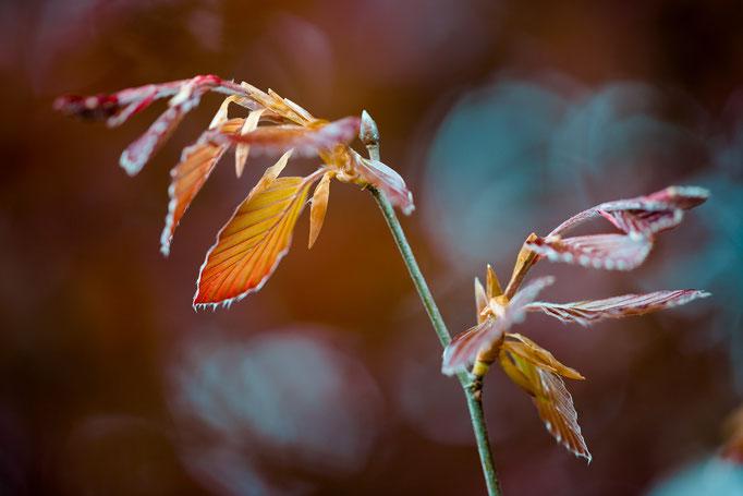 frisches Laub einer Blutbuche [Fagus sylvatica f. purpurea]