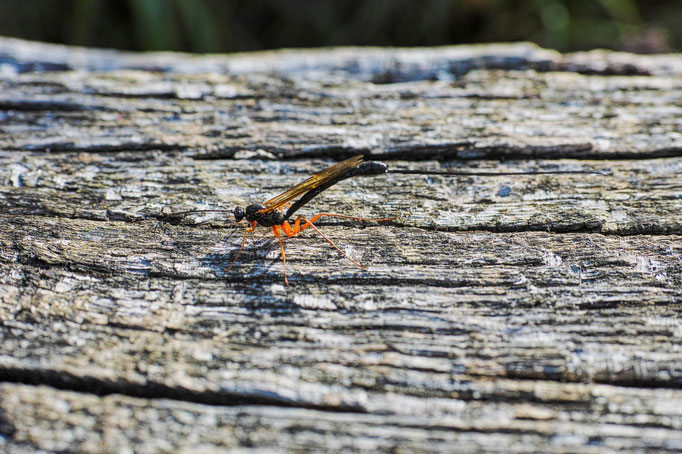 The Ichneumon Fly in this picture is hard to see
