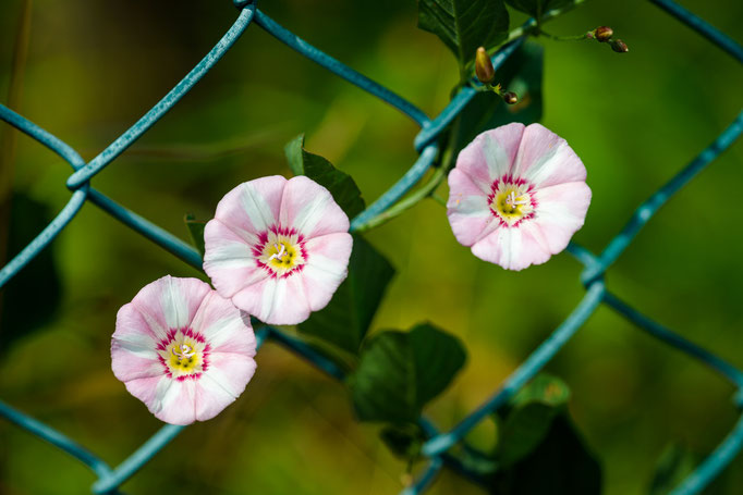 Blossoms of Field Bindweed [Convolvulus arvensis]