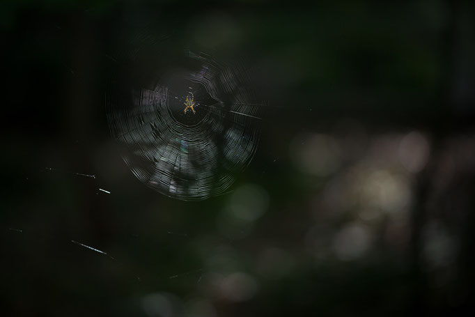 European Garden Spider [Araneus diadematus] in its orb web