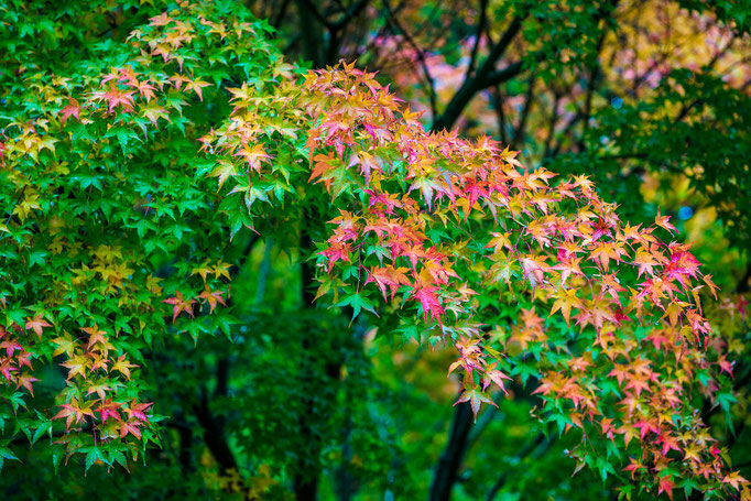 Maple foliage in fall colors