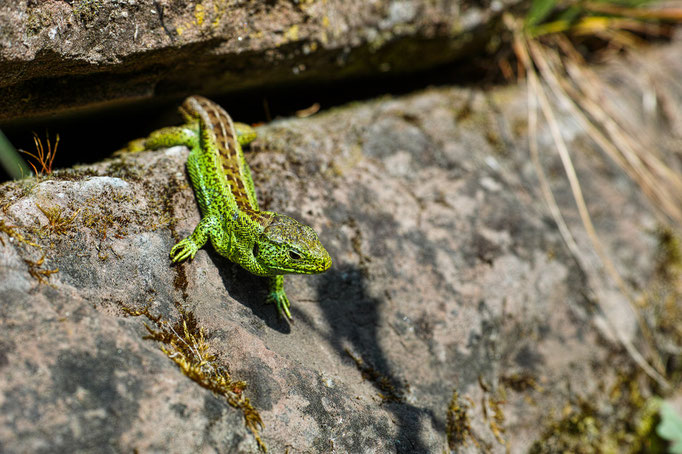 Male Sand Lizard [Lacerta agilis]