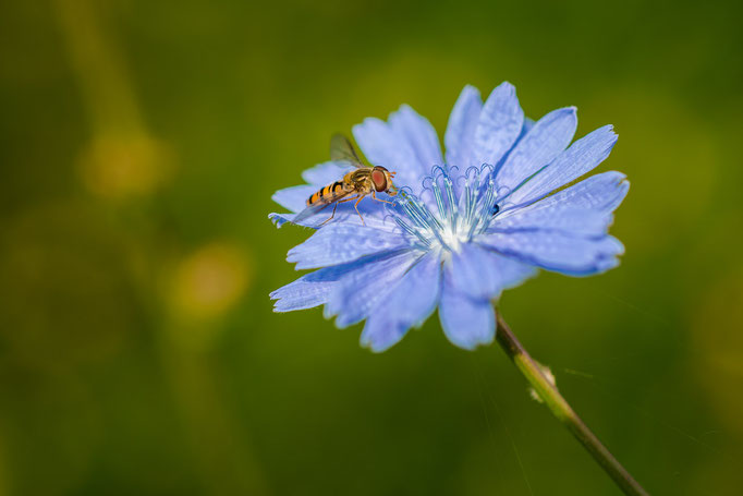 Hainschwebfliege [Episyrphus balteatus] auf einer Blüte der Gemeinen Wegwarte [Cichorium intybus]