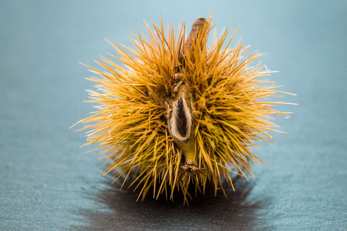 Chestnut [Castanea sativa]