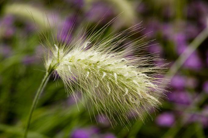 Dwarf Fountain Grass [Pennisetum alopecuroides]