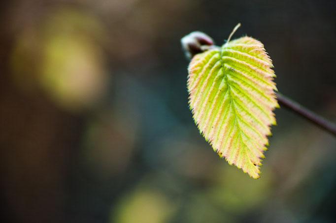 Junges Blatt der Hainbuche [Carpinus betulus]