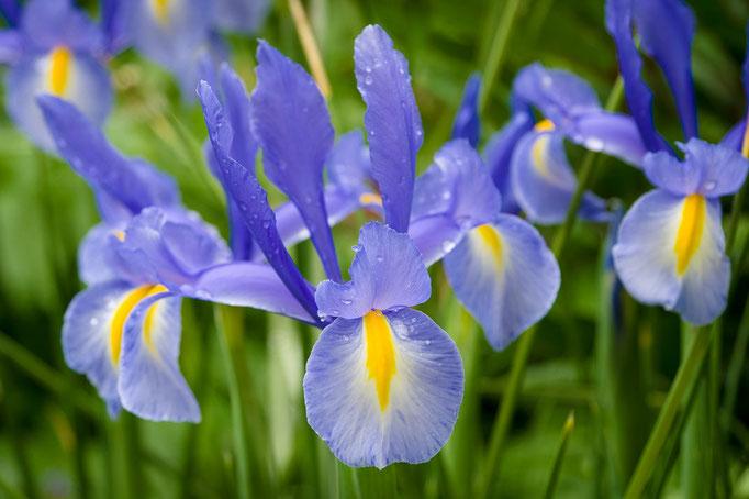 Schwertlilien [Iris]