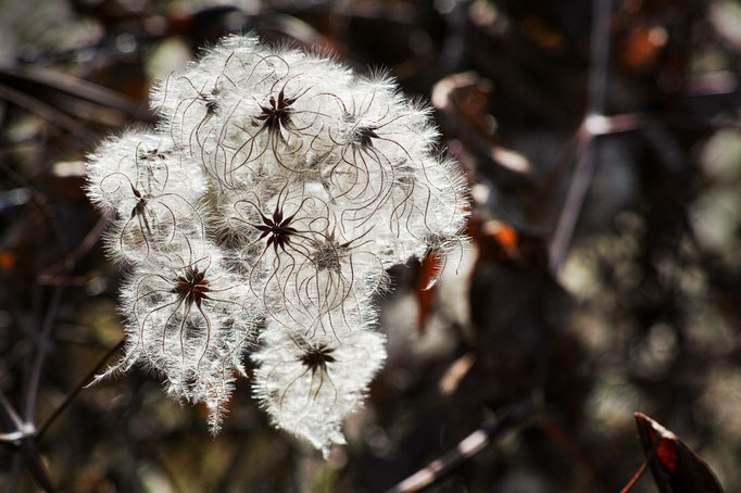 Seeds of Old man's beard  [Clematis vitalba]