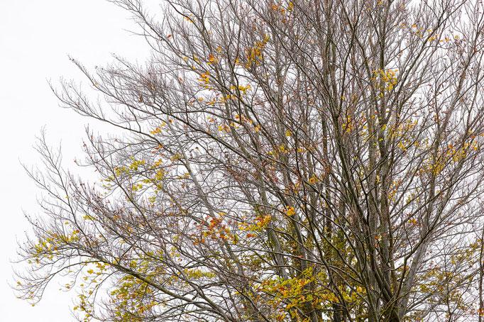 Balding beech tree