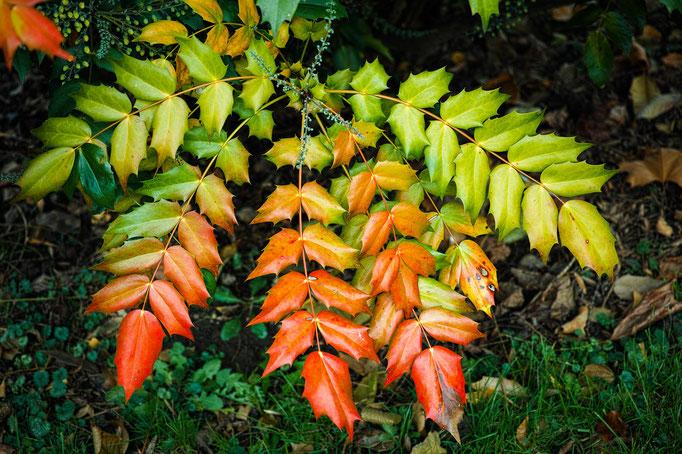 Mahonie [Mahonia aquifolium]