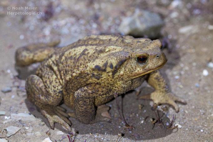Mittelmeer-Erdkröte (Bufo spinosus)