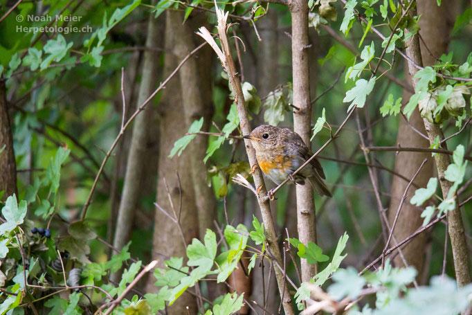 Rotkehlchen (Erithacus rubecula), Jungvogel, Schweiz