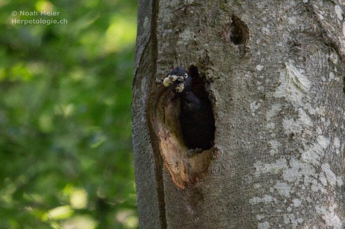 Schwarzspecht (Dryocopus martius), Schweiz