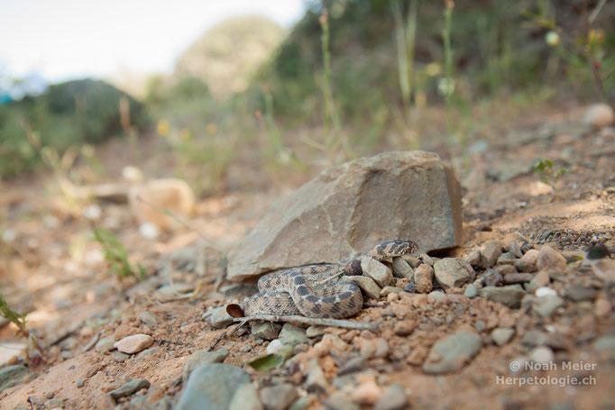 Sahel-Eierschlange (Dasypeltis sahelensis)