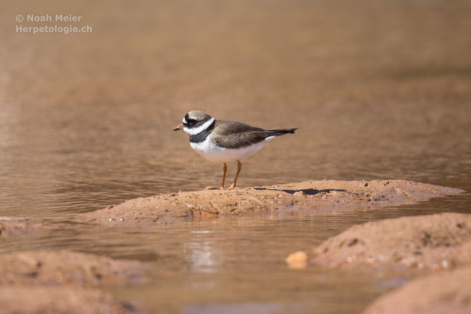 Sandregenpfeifer (Charadrius chiaticula), Marokko