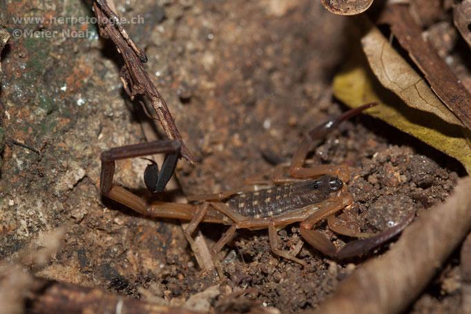 Skorpion (Lychas scutillus)