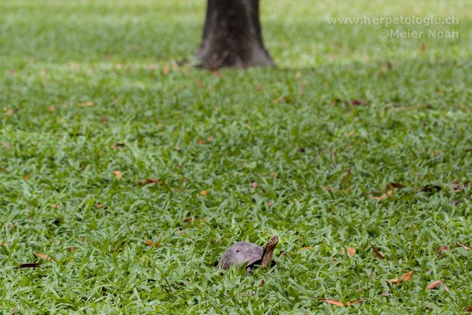 Amboina Scharnierschildkröte (Cuora ambionensis) auf einer Wiese im Park