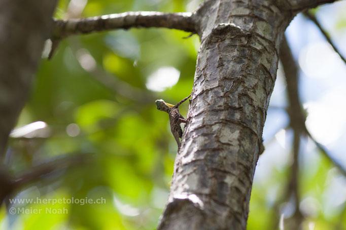 Flugdrache (Draco sp.)