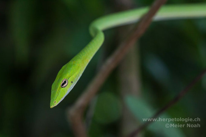 Grüne Peitschennatter (Ahaetulla prasina)