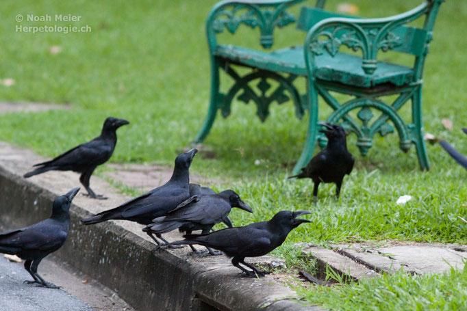 Dickschnabelkrähe (Corvus macrorhynchos), Thailand