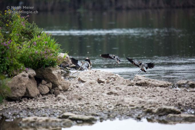 Kiebitz (Vanellus vanellus), Schweiz