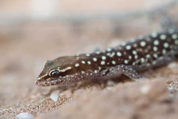Marokkanischer Echsenfingergecko (Saurodactylus brosseti)
