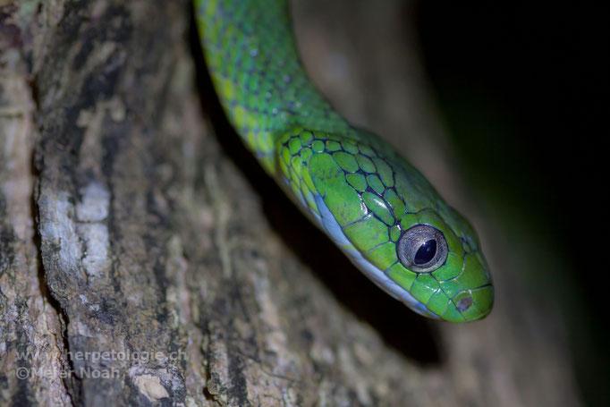 Grüne Nachtbaumnatter (Boiga cyanea)